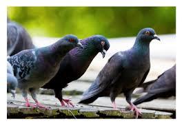 Capture des pigeons